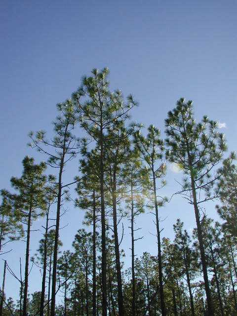 reflections on longleaf pine