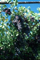 Vitis vinifera. Grape. Vitaceae