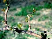Vitis vinifera. Grape. Just pruned. Vitaceae