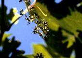 Vitis vinifera. Grape. Just past flowering. Anjara, Jordan. Vitaceae