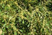 Ziziphus spini-christi. Lote. Rhamnaceae