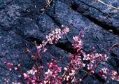 Boswellia papyrifera. Flowers. Frankincense. Kadugli, Sudan