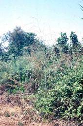 Brassica (alba?). Mustard. Hula Swamp, Israel. Brassicaceae