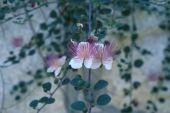 Capparis spinosa. Jerusalem. Capparaceae
