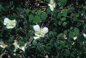 Capparis spinosa. Capparaceae