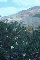 Capparis spinosa. Dead Sea, Israel. Capparaceae