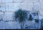 Capparis spinosa. Wall, Jerusalem. Capparaceae