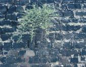 Capparis spinosa. On basalt wall. Bet Shean, Israel. Capparaceae