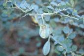 Capparis spinosa. Fruits, Anjara, Jordan. Capparaceae
