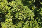 Ceratonia siliqua. Carob. Fabaceae