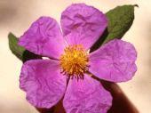 Cistus creticus. Balm of Gilead. Dibbeen, Jordan. Cistaceae