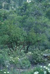 Cistus salvifolius. In Pinus halepensis forest, Dibbeen, Jordan. Cistaceae