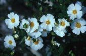 Cistus salvifolius. Cistaceae