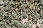 Citrullus colocynthis. Gourd. Cucurbitaceae