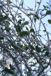 Commiphora sp. Ein Gedi, Israel. Myrrh