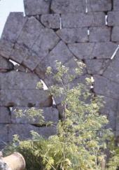 Conium maculata. Hemlock. Saint Simeon, Syria. Apiaceae