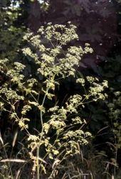 Conium maculata. Hemlock. Ghouta, Damascus. Apiaceae