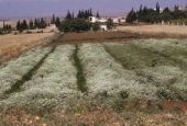 Coriandrum sativum. Coriander. Near Hama, Syria. Apiaceae