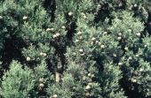 Cupressus sempervirens. Cones. University of Jordan campus, Amman, Jordan. Cupressaceae