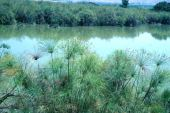 Cyperus papyrus. Papyrus. Hula Swamp, Israel. Cyperaceae