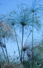Cyperus papyrus. Hula swamp, Israel. Cyperaceae