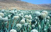 Allium cepa. Onion. Near Nablus, Palestine. Alliaceae or Liliaceae