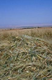 Durum wheat ready for frikeh production. Near Idlib, Syria. May 2000