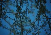 Acacia tortilis. Acacia. Ghor Safi, Jordan. Fabaceae