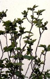Ficus carica. Near Um Qais, Jordan.