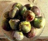 Ficus carica. Fruits. Moraceae