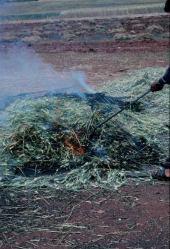 Frikeh preparation near Idlib, Syria. May 2000