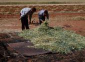 Preparing frikeh for fire. Near Idlib, Syria. May 2000