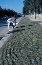 Fresh frikeh drying on sidewalk in Aleppo, Syria. May 2000