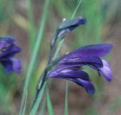 Gladiolus atroviolaceus Near Jerash, Jordan. Iridaceae