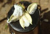 Gossypium hirsutum. Cotton. Capsule. Malvaceae