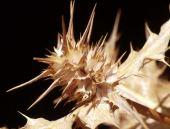 Gundelia tournefortii. Akoub. Flowers. Asteraceae