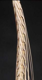 Hordeum sp. Barley. Poaceae