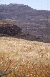 Hordeum vulgare. Fields near Mount Nebo, Jordan. Poaceae