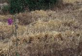 Hordeum vulgare. Near Tubas, Palestine. Poaceae