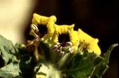Hyoscyamus aureus. Henbane. Makerus, Jordan. Solanaceae