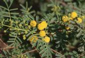 Acacia nilotica. Jordan Valley, Jordan