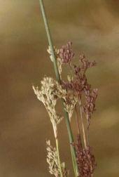 Juncus arabicus. Near Zara River, Jordan. Juncaceae