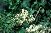 Lawsonia inermis. Henna. Flowers. Lythraceae