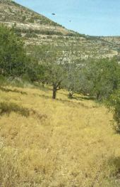 Lens culinaris. Field in olive grove. South of Nablus. Fabaceae