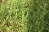 Lens culinaris. Lentil. Flowering. Fabaceae