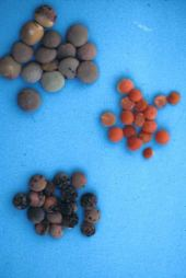 Lens culinaris. Lentil. Seeds. Fabaceae
