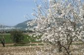 Amygdalus communis. Almond. Mt Tabor in background