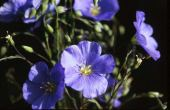 Linum usitatissimum Linaceae