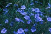 Linum usitatissimum. Flax. Linaceae