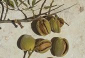 Amygdalus communis. Almond. Mature fruits.